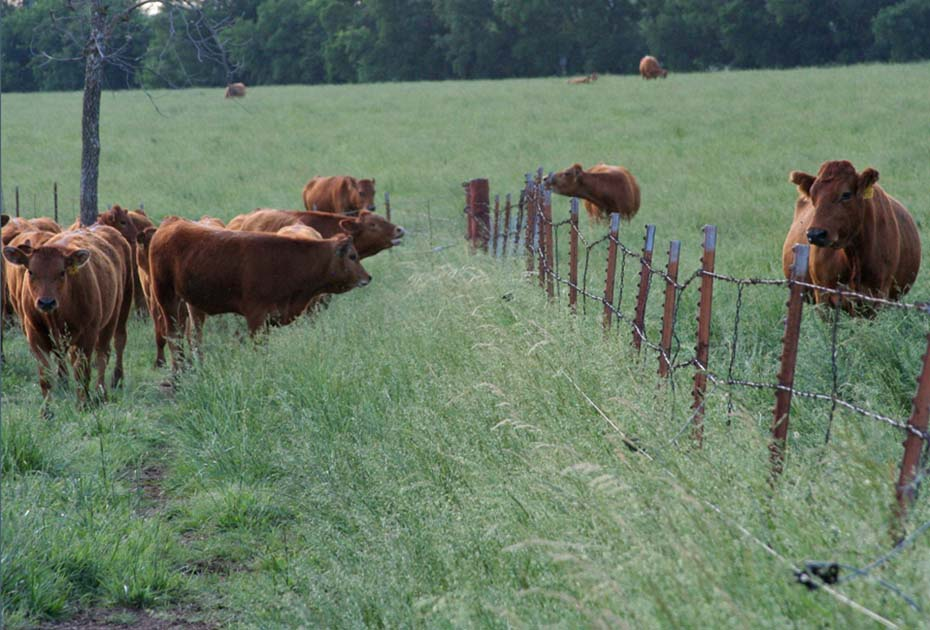 Fence-line Weaning